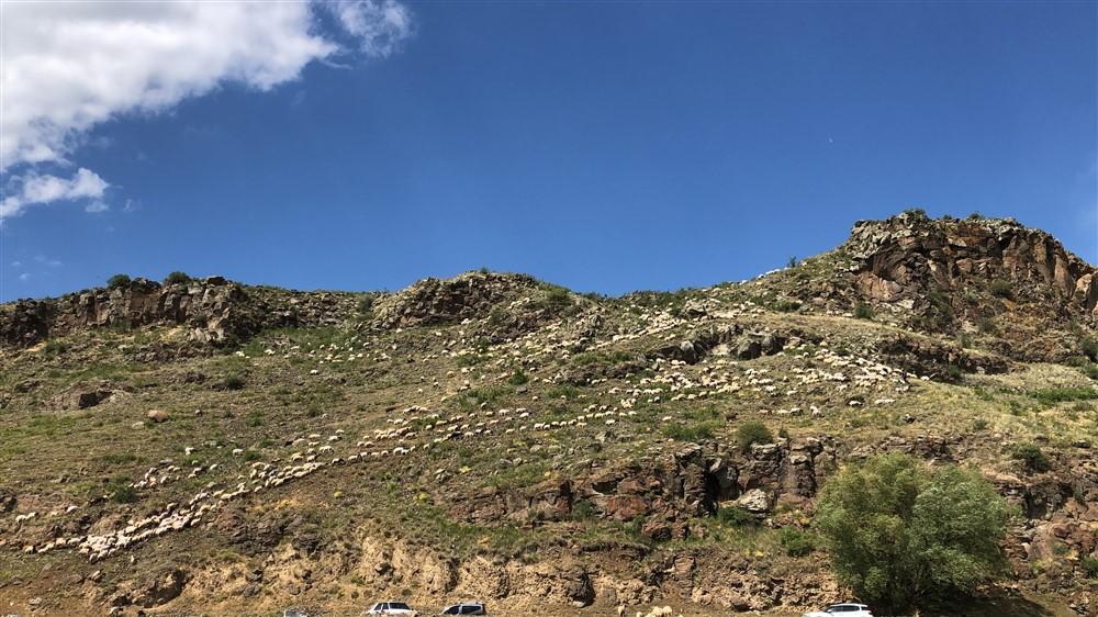 Kırkılan koyunları Kars Çayı'nda yıkadılar