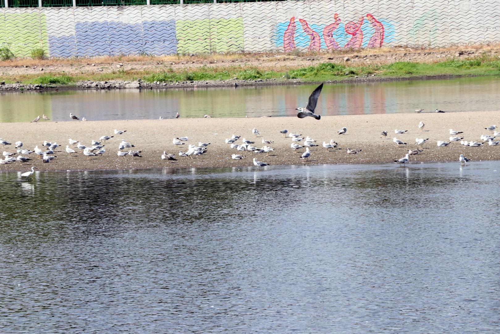 Tunca'yı yosunlar kapladı, Meriç Nehri'nde adacıklar oluştu