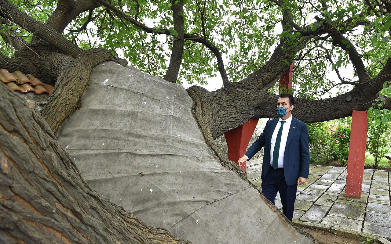 Kosova'daki tarihi ağacı Bursa yaşatıyor